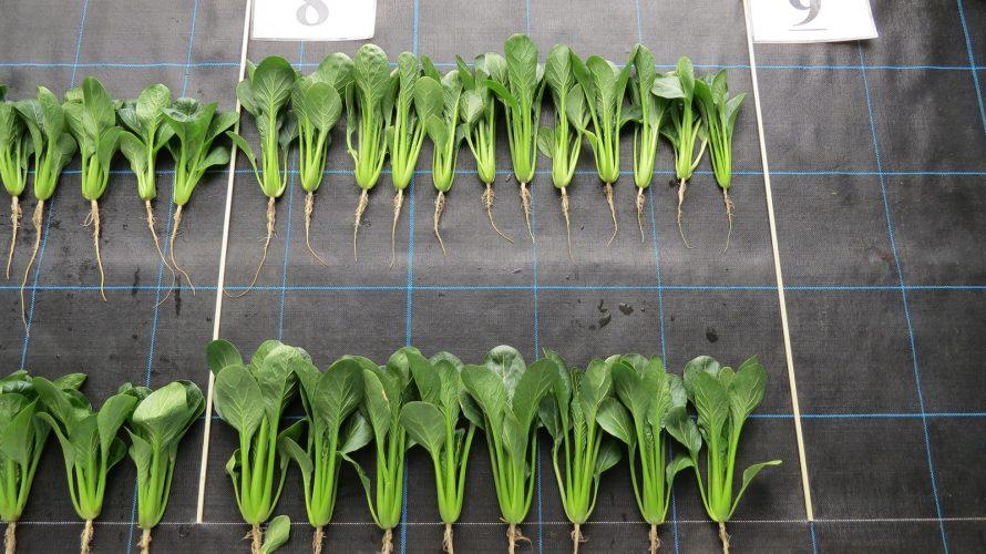 第69回全日本野菜品種審査会コマツナ(ハウス・冬どり)の部 1等特に サカタのタネ「C5-040」  極立性で白さび病に強い 葉色濃く低温伸長性に優れる