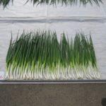 「千 姫 」小林種苗が1等特 耐暑性・耐寒性に優れる 草姿は極立性、葉折れ少ない